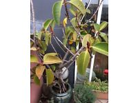 RUBBER PLANT IN CERAMIC POT - OVER 5 FOOT TALL
