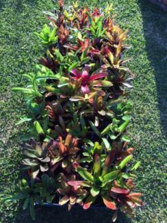 HUGE MINI BROMELIAD PLANT SALE THIS WEEKEND NEAR PENRITH!! Werrington Downs Penrith Area Preview