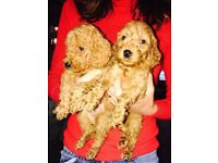 PRA clear red Cockerpoo puppies ready now