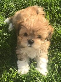 Beautiful Lhasa Apso pups - ready now! Stunning pedigree puppies from reputable breeder