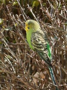 spotted budgie