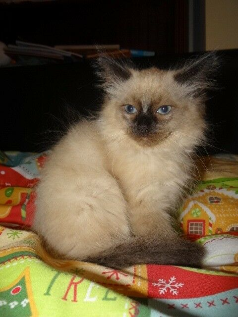 1 Boy Ragdoll cross Birman/Russian Blue Kitten | in Gloucester,  Gloucestershire | Gumtree