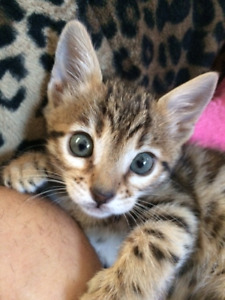 TICA registered male and female baby bengals ready now