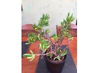 Money Plant/Jade Plant