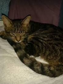 Tabby boy kitten Cute & Friendly