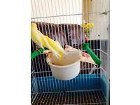 yellow dimorphic canaries (pair).