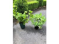 2 outdoor plants (Hydrangea and Sedum/Ice plant). Collect from Fulham