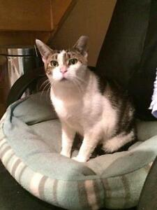 "Adult Female Cat - Domestic Short Hair: ""Harriet"" Stratford Kitchener Area image 1"