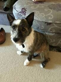 Westhighland/Cairn Terrier Cross For Sale