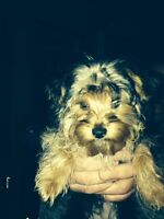 Beautyful 4month old yorkshire terrier for sale