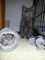"Young Female Cat - Domestic Short Hair-gray: ""Slate"""