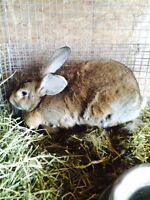 Rabbits for sale, New Zealand, Giant Flemish, and both crossed,