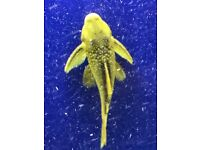 L200 Green Phantom plecos for sale live tropical fish 2 sizes