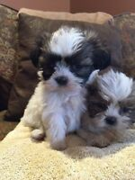 Shih-tzu Puppies!