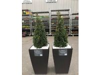 2 buxus trees in large rattan pots