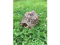 Adult female Indian Star Tortoise