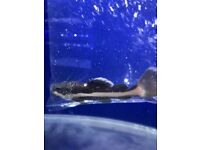 South American Red Tail Catfish (RTC) for sale live tropical fish
