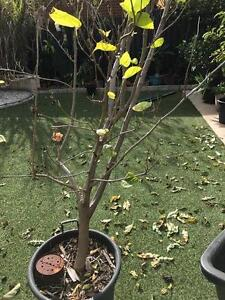 Mulberry Tree For Sale Scarborough Stirling Area Preview