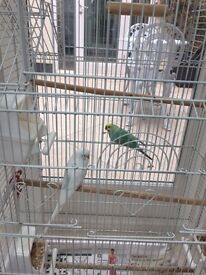 2 Budgies & Cage