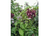 Himalayan berry plant