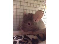 Young male Chinchillah needs a new home! with cage!