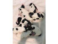 English Pointer Puppies for Sale