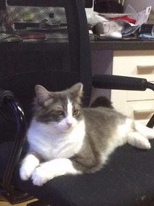 Lost Cats/Chats Perdus Grey/White + Orange Tabby