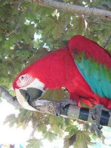 parrot adoption, rescue and surrender