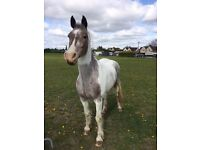14.3 mare looking for long term loan home as companion
