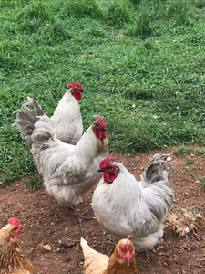 Lavender Orpington Roosters for sale