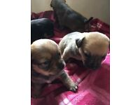 Jack Russell/Chihuahua Puppies for sale