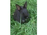 Rabbit Netherland Dwarf