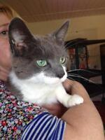 "Young Female Cat - Domestic Short Hair-gray: ""Snickers"""