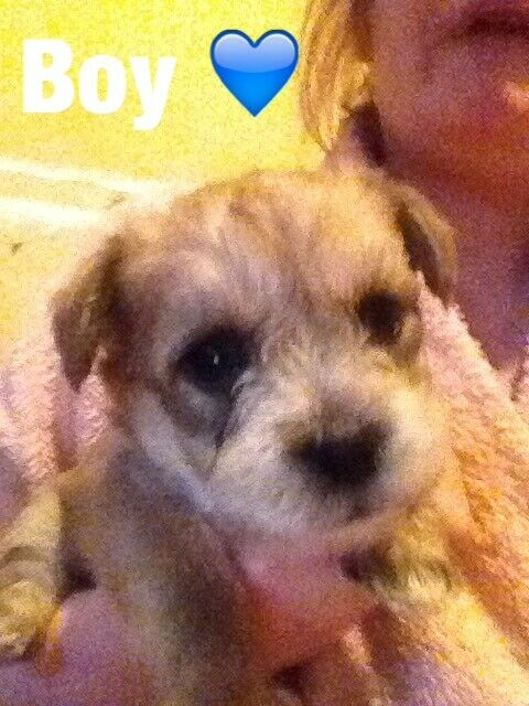 Kashon puppies for sale (Bichon frise cross cairn terrier) | in North  Shields, Tyne and Wear | Gumtree