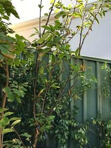 Advanced Cherry Tree South Perth South Perth Area Preview