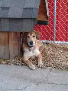LOST: Shepard Mix Dogs London Ontario image 3