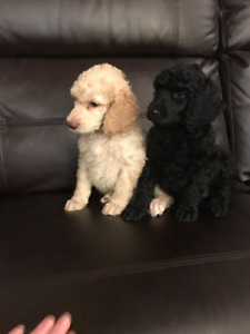 Ready to go!  Champion Bred CKC Registered Standard Poodles