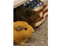 Two gorgeous guinea pigs & cage with accessories etc for sale