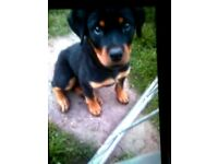 Beautiful litter of Rottweilers for sale