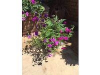 Black tub containing small conifer tree and petunias. Collect Fulham