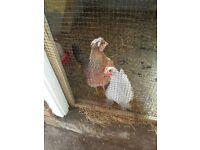 female chicken adult £10