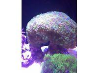 Marine Coral Frogspawn Euphyllia Divisa