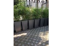 Excess Planting from Display Home - 10 large silver (H80cm W40cm) pots with bamboo