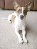 """Young Female Dog - Chihuahua-Jack Russell Terrier: """"Roxy"""""""