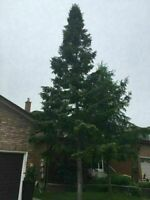 Tree removal $100 Tree cutting, 647-704-0175
