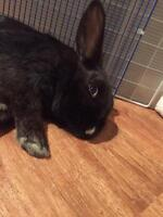 "Adult Female Rabbit - Dutch: ""Licorice"""