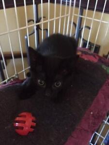 Baby Female  - Domestic Short Hair West Island Greater Montréal image 1