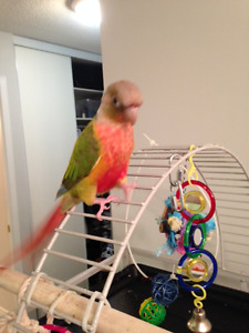 9 MONTH OLD GREEN CHEEK CONURE (PINEAPPLE) WITH CAGE & ALL ACCES