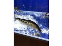 "Clown Knifefish for sale 3-4"" live tropical fish"