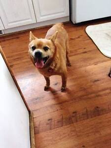 **Sweet Buttercup - CHIHUAHUA cross is available for adoption***